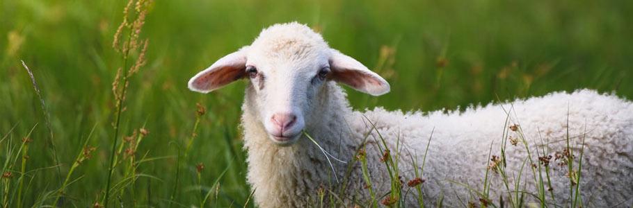 تضمین سوددهی پرورش گوسفند